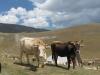 Mucche al Pascolo a Campo Imperatore