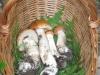 Porcinelli rossi - Luppa Settembre 2009