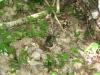 Vipera tra i faggi di Luppa - Maggio2009